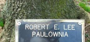 Robert E Lee paulownia