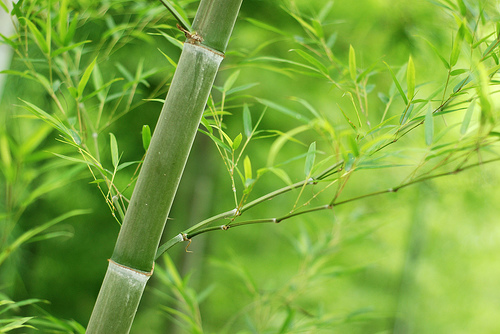 бамбук 2