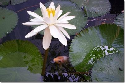 LotusKoi