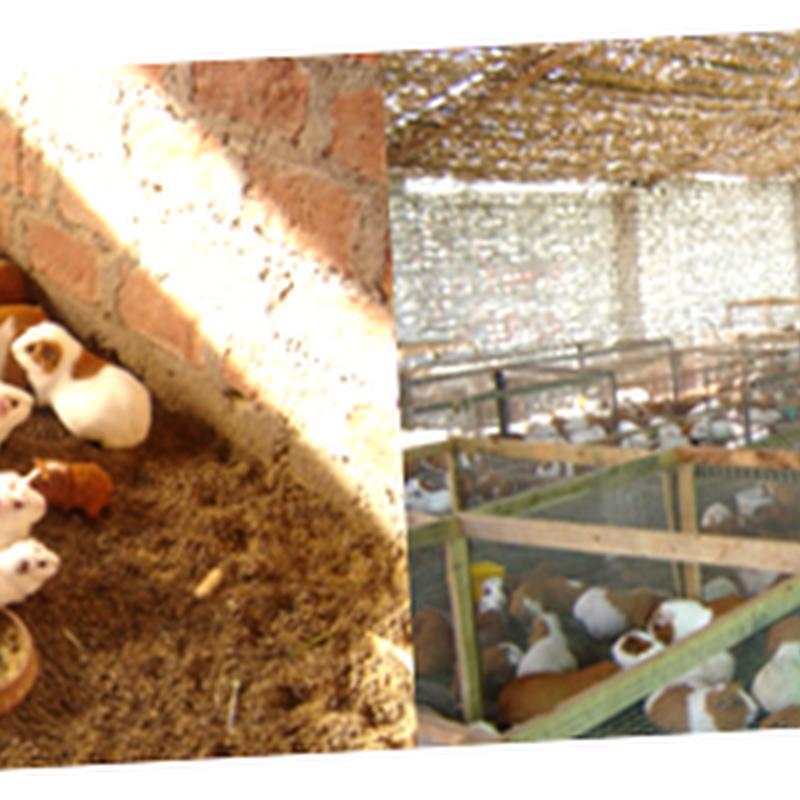 1- Manejo de Reproductores en la crianza de cuyes
