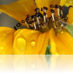 closeupsunflowerMarch09