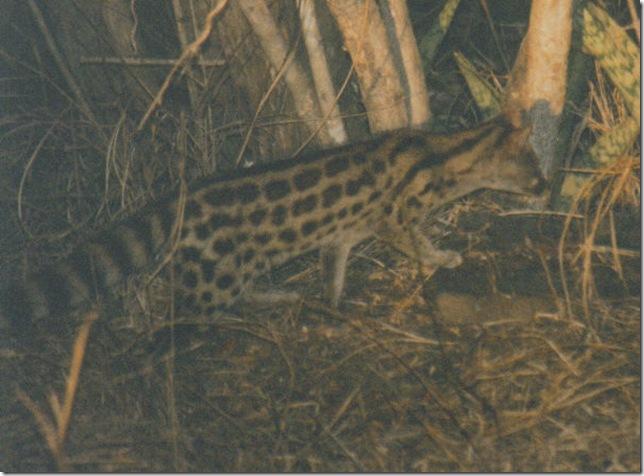 skukuza serval