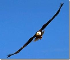 aguia azul