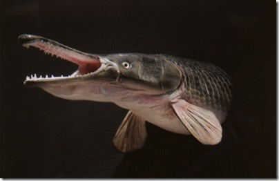 alligator-gar-tm