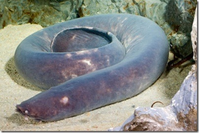 hagfish-tm