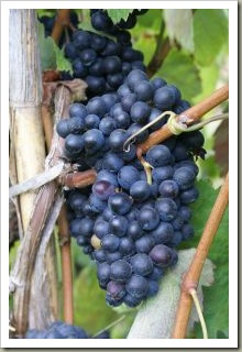 1151781_grape_4