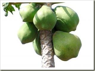 530045_papaya_tree
