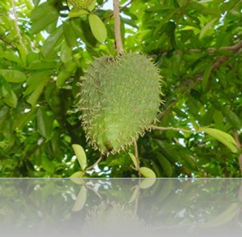 durian belanda. graviola, soursop