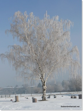 tree frosted over