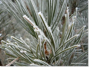 frost on the pine