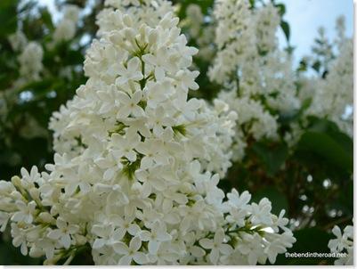 Lilacs 2009