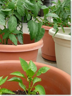 tomatoes and peppers growing in our salsa garden