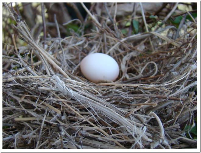 04-23-09 Dove nest in the honeysuckle 20