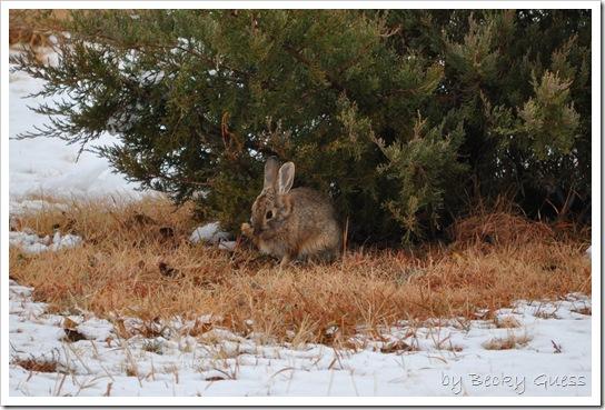 11-12-10 Rabbit in snow 06