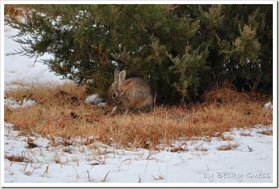 11-12-10 Rabbit in snow 05