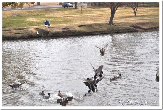 11-24-10 Feeding geese 12