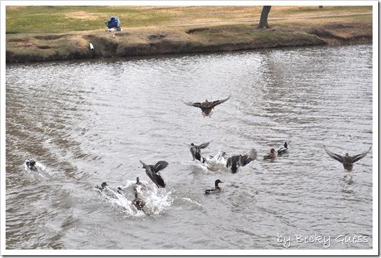 11-24-10 Feeding geese 13