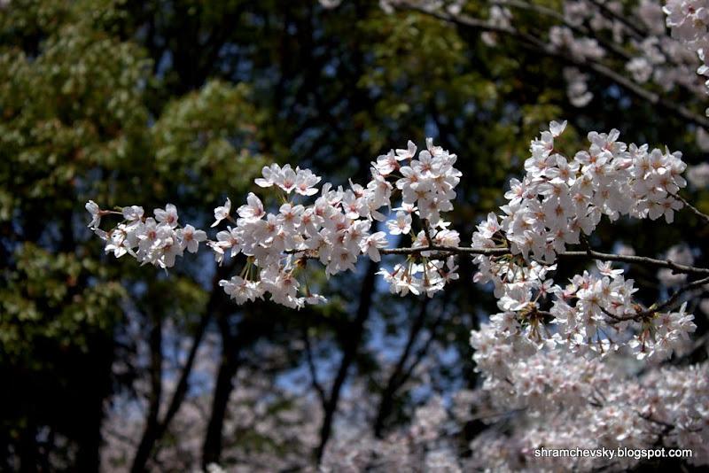 Japan Sakura Cherry Blossom Япония Сакура Цветы