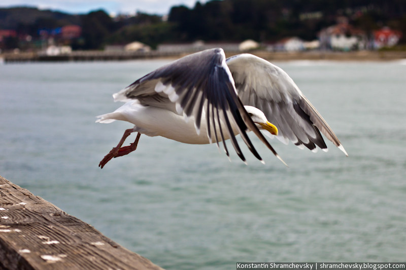 USA California San Francisco Sea Gull США Калифорния Сан Франциско Чайка Море