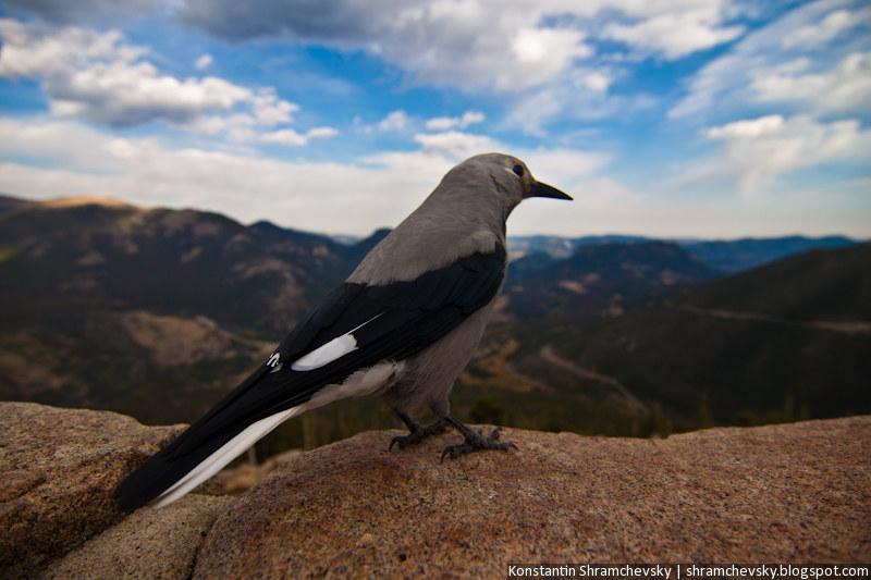 USA Colorado Rocky Mountains National Park Bird США Колорадо Роки Маунтинз Национальный Парк Скалистые Горы Птица