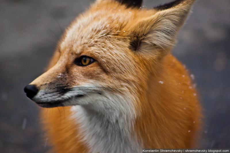 Fox Лис