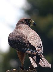 NZ_Falcon4