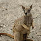 Rock Wallaby Mutter mit Baby in Beutel
