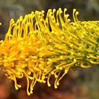 Blüten einer Wüstenpflanze und dazwischen glitzert der Nektar.