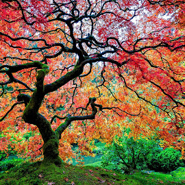 Fall Color at the Portland Japanese Garden by Chris Bartell - Nature Up Close Trees & Bushes ( red, tree, color, fall, maple,  )