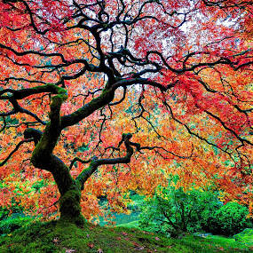 Fall Color at the Portland Japanese Garden by Chris Bartell - Nature Up Close Trees & Bushes ( red, tree, color, fall, maple, , colorful, mood factory, vibrant, happiness, January, moods, emotions, inspiration, lighting, light, bulbs, mood-lites )