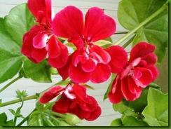 flores de setiembre2 043