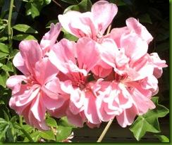 flores de setiembre2 061