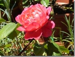 4 de mayo, rosas 007