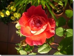 4 de mayo, rosas 004