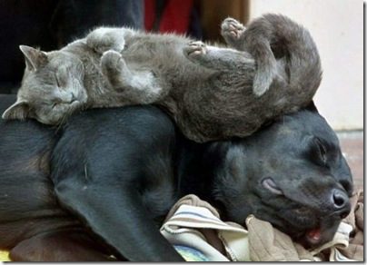 lazy dog and cat