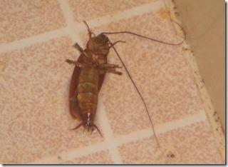 """Cockroach on 2"""" tiles"""