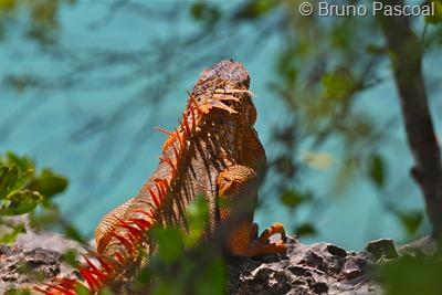 Encontrei um raro lagarto vermelho! Agora só me falta fotografar uma águia verde e um dragão heterossexual!