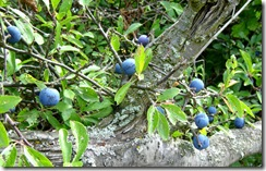 Sloes 1