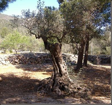 Kabila oliva