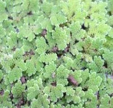 Azolla-smallest-pteridophyte1