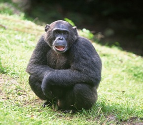 chimpanzee-Intelligent-ape