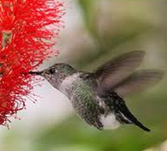 Mellisuga minima -humming bird-smallest-egg
