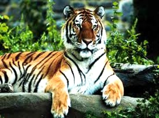 Tiger-indiannational-animal