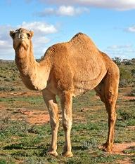 camel-desert-ship