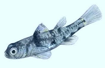 Pandaka-Smallest-freshwater-fish