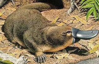 platypus-oviparous-mammal