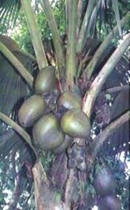 Lodoicea-largest-fruit