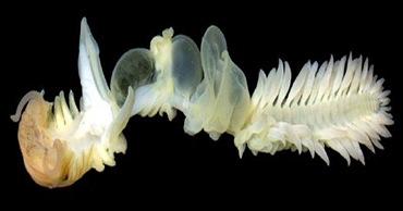 bioluminscence-chaetopterus
