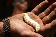 Grub-larvae