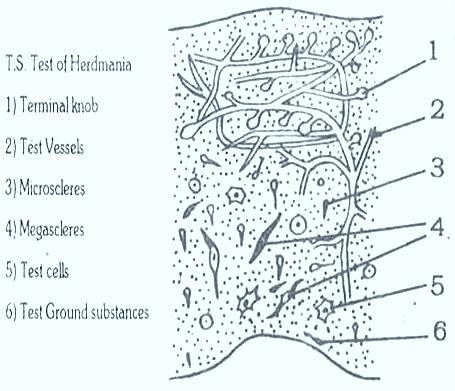 Herdmania Body wall